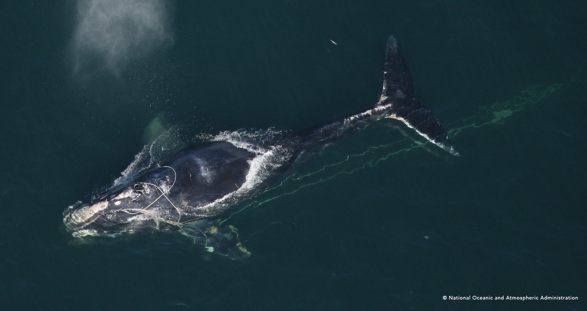 Entangled North Atlantic right whale © National Oceanic and Atmospheric Administration